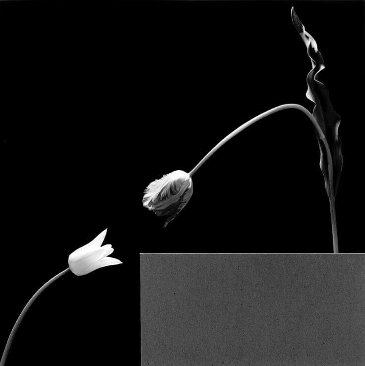 1984, two tulips 1984