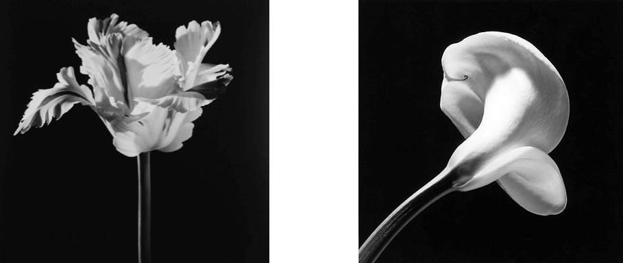 Robert-Mapplethorpe-Parrot-Tulip-1986-Calla-Lily-1984