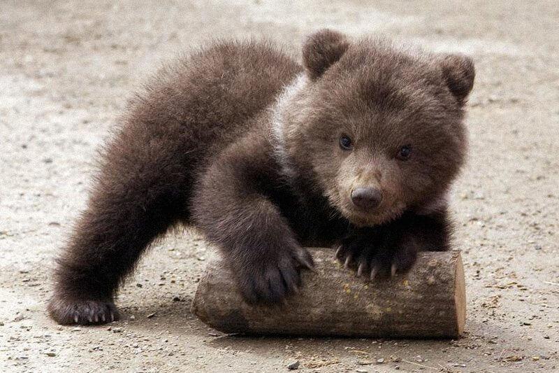 Questi adorabili cuccioli di orso marsicano nati in Abruzzo vi scioglieranno il cuore!
